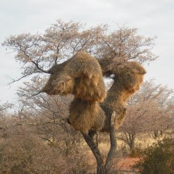 Baobaböl, organisch, kaltgepresst