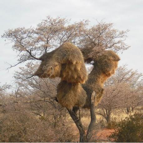 Baobaböl, 100% organisch, kaltgepresst  - 50 und 100 ml