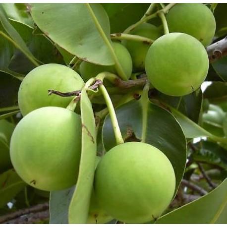 Tamanu Öl (Calophyllum inophyllum) - Wasserdichter Sonnenschutzfaktor 30