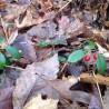 100% ätherisches Wintergrünöl - 100 gr