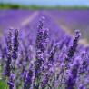 Französischer Lavendel - 100 gr