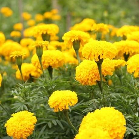 Ringelblumenblüten ohne Kelch - 100 gr