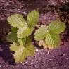 Erdbeerblätter, 50-100 gr